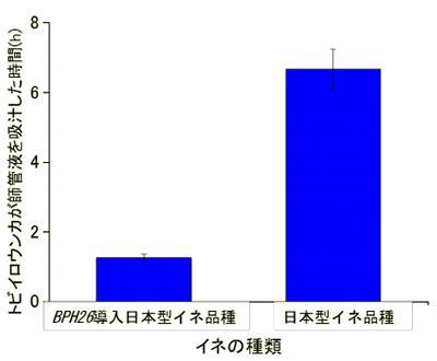 イネに抵抗性遺伝子BPH26を導入すると、トビイロウンカが師管液を吸汁する時間は大幅に減る