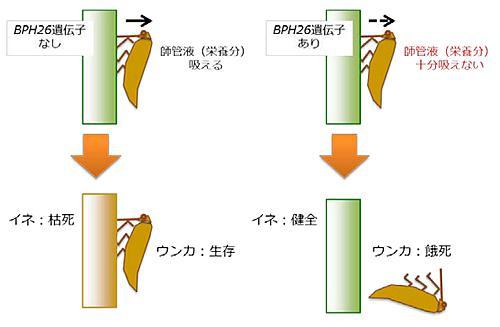 BPH26遺伝子がトビイロウンカへの抵抗性を発揮する仕組み