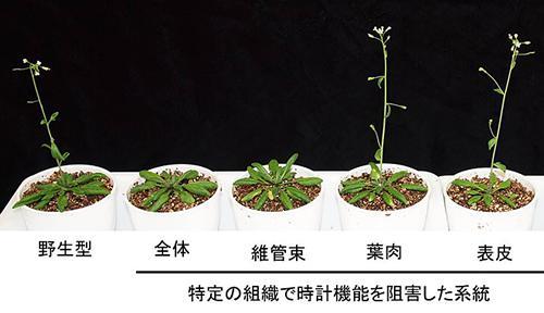 シロイヌナズナの特定の組織で時計機能を阻害した系統。維管束の体内時計を阻害すると花が遅咲きになる。
