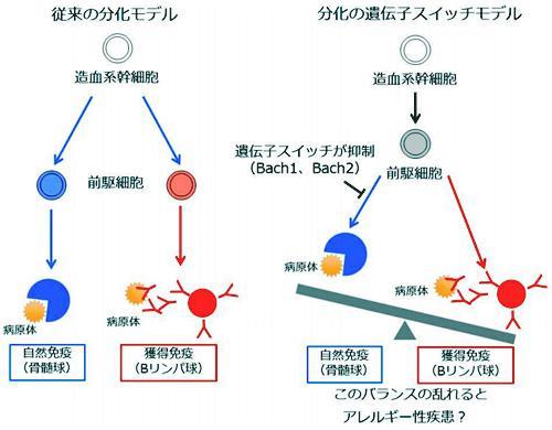 前駆細胞の分化と遺伝子のスイッチ、従来の白血球の分化モデル(左)との比較
