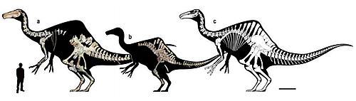aは2009 年に発見されたものと欧州からモンゴルへ返還された標本。bは2006年の亜成体の標本。cは2体を基にした復元。スケールは1m。