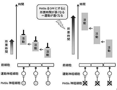 運動速度制御の神経回路モデル
