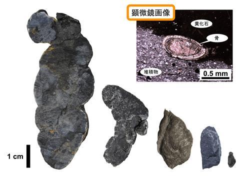 中生代初期の大沢層から発見されたさまざまな大きさの糞の化石と、そのうちの一つの顕微鏡写真(右上)。脊椎動物の骨が含まれている。