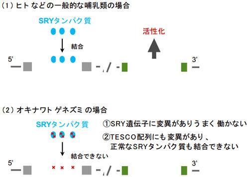 ヒトを含む一般的な哺乳類(上)とオキナワトゲネズミ(下)の性決定の仕組み
