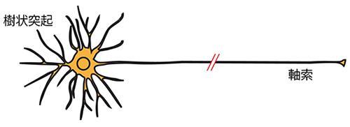 神経細胞の軸索の構造