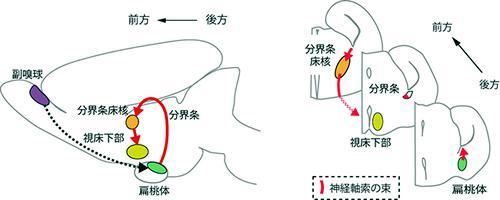 扁桃体から視床下部方面への軸索経路の例。脳の縦断面(左図)と横断面(右図)。Pcdh17がマウスの扁桃体から視床下部方面へ伸びる軸索上に存在することが分かった。