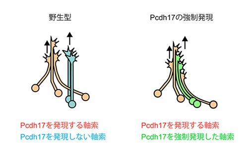 プロトカドヘリン17の強制発現(右の緑色)による軸索伸長パターンの変化