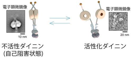 ヒト培養細胞から分離したダイニンの不活性型(自己阻害状態)と活性型の構造、それぞれの電子顕微鏡写真