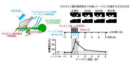 側坐核のシナプス頭部の増大と、そのドーパミン遅延依存性