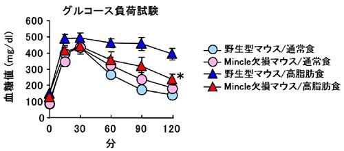 高脂肪食飼育時にミンクル欠損マウスが示した糖代謝の改善