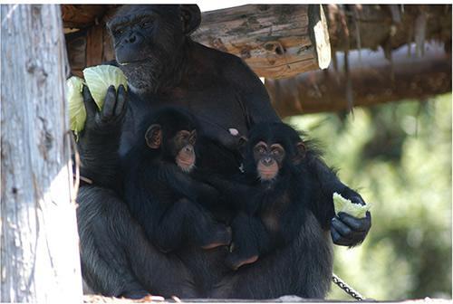 ふたごを抱く母親サンゴ、ふたごは5カ月齢=2009年(提供:高知県立のいち動物公園の山田信宏さん)