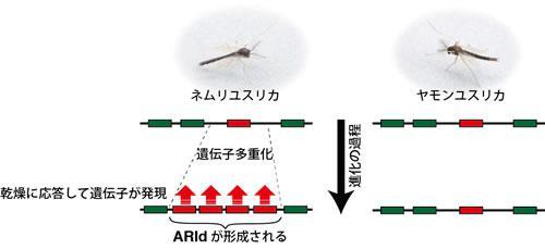 ネムリユスリカの乾燥無代謝休眠獲得に至るゲノムの進化過程
