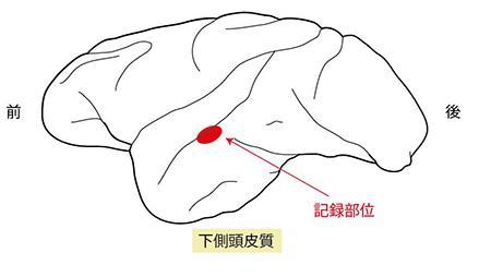 脳の神経細胞の活動を記録した下側頭皮質(視覚野)の部位
