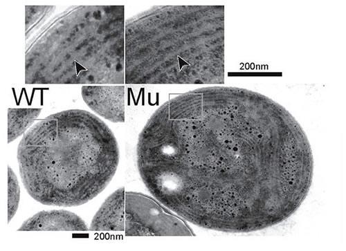 シアノバクテリアの電子顕微鏡写真。左のWTが野生型、右のMUがmgdE遺伝子破壊株。いずれも光合成のチラコイド膜が構築されている。