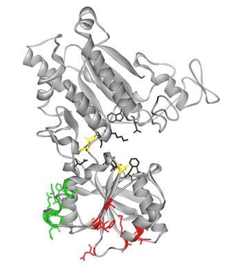 ハチドリT1R3の細胞外領域の分子モデル。甘味物質の受容に寄与した19個のアミノ酸残基は黄色、緑色、赤色で示す3つの領域に分かれて存在していた。黒色のアミノ酸残基は、推定の味物質結合部位を示す。
