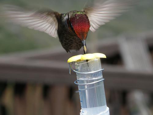 ハチドリを用いた行動実験。ハチドリは水よりも糖や糖アルコールの溶液を好んで摂取した。