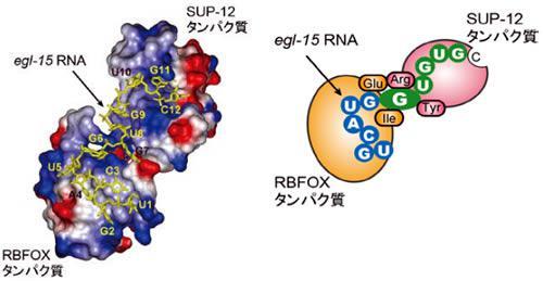 2つのタンパク質がサンドイッチのようにRNAの塩基Gを挟み込む立体構造の模式図