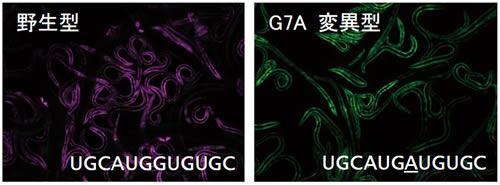 線虫の蛍光顕微鏡写真。左はRNAが野生型で、2つのタンパク質が働いて筋肉型(紫色)に加工される。右は7番目のGを異なる別の塩基Aに変異させた場合で、正しくmRNAを加工できず、非筋肉型(緑色)になった。