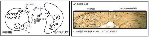 エクソソーム投与による脳内Aβ除去の概念図とマウスの海馬の比較