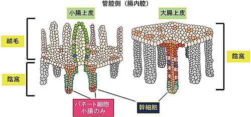 形態が異なる小腸上皮と大腸上皮。絨毛と逆側にくぼんだ構造の最底部にそれぞれの幹細胞が存在して、日々はがれ落ちていく上皮組織を修復し補給している。