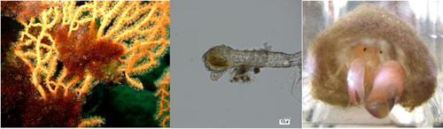 左はソフトコーラルのアミメヒラヤギの枝(ダイダイ色)にべっとりとつくシアノバクテリアの塊(褐色)。真ん中(顕微鏡写真)はアミメヒラヤギの枝に打ち込まれたシアノバクテリアの先端で、毛根状で外れないようになっている。右は円柱状のシアノバクテリア群集を巣にして中にいるツノナシテッポウエビ。