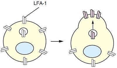 リンパ球内の接着因子LFA1の輸送と集積