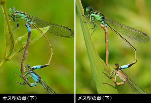 アオモンイトトンボの雌の色彩2型。上にいる雄はすべて緑色で、下にいる雌には青と茶のタイプがある。
