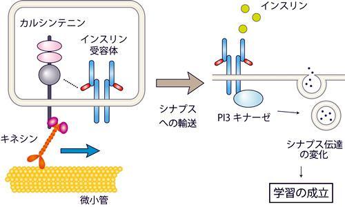 カルシンテニンを介したインスリン受容体の輸送による学習の成立の仕組み