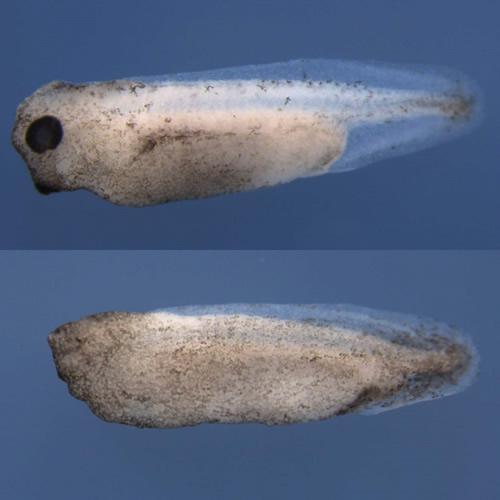 ネッタイツメガエルの正常胚(上)と、Otx、Lim1、Gscの機能喪失による頭部欠損胚(下)