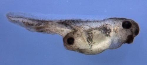 アフリカツメガエル胚で、Otx、Lim1の合成mRNAを4細胞期の腹側に顕微鏡下で注入して、第2の頭部を誘導した実験