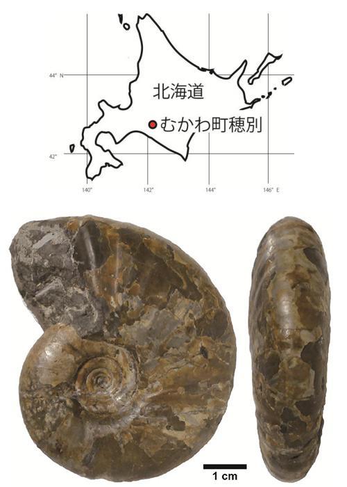 アンモナイトの新種のアナゴードリセラス・コンプレッサム