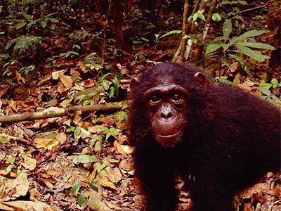 ガボンのムカラバ国立公園のチンパンジー