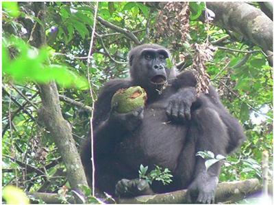 果物を持つゴリラ=ガボン・ムカラバ国立公園