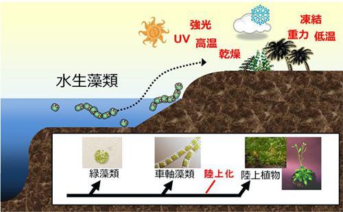 植物の陸上進出と車軸藻植物の関係