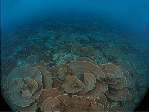 西表島船浮湾のリュウモンサンゴ群集(深さ30m)