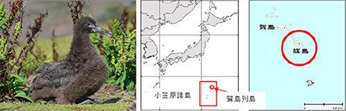 小笠原諸島の媒島で見つかったアホウドリとみられるひなと媒島の地図