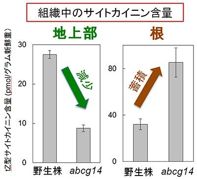 シロイヌナズナの野生株とabcg14変異体のサイトカイニン含量