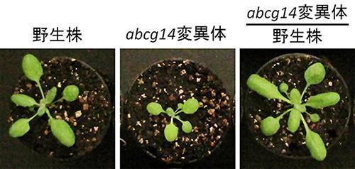 シロイヌナズナの野生種(左)、abcg14変異体(中)、野生株の根にabcg14変異体の地上部を接ぎ木した際の地上部の成長の回復(右)。