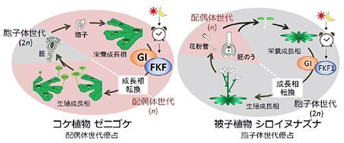 コケ類の生殖器形成と被子植物の花を咲かせる仕組みの共通性