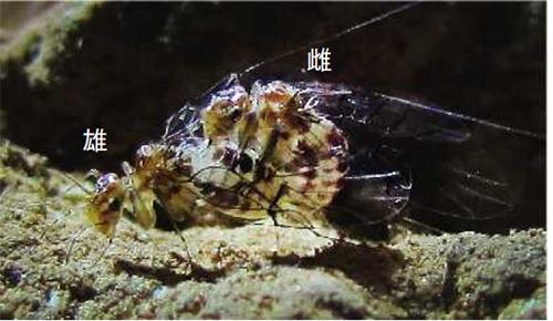 交尾状態のトリカヘチャタテ