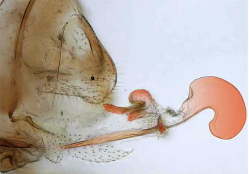 トリカヘチャタテの雌ペニス