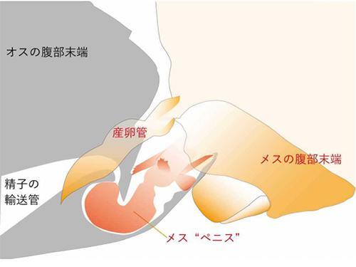 トリカヘチャタテの雌ペニスが雄に挿入された状態の概略図