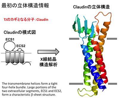 解析されたクローディンの立体構造