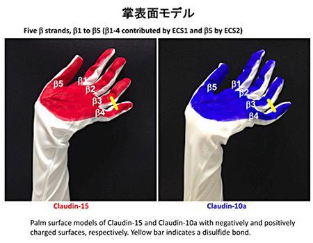 クローディンの細胞外に出た手のひらモデル