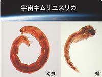 宇宙実験に使ったネムリユスリカの幼虫とサナギ