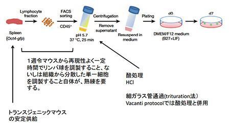 STAP細胞誘導手順の検討