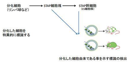 分化した細胞からSTAP現象で多能性細胞が生じるか?の証明方法