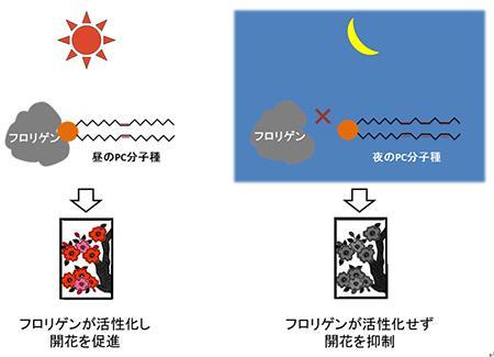 フロリゲンとリン脂質のPCの結合による開花制御の新しい理論