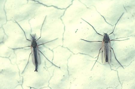水質汚染が進んだ湖に特徴的なアカムシユスリカ(左がオス、右がメス)平均体長8.0~9.5ミリ