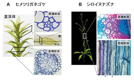 植物の通水組織(※)。左がヒメツリガネゴケ、右がシロイズナズナ